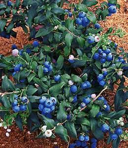 Heidelbeere Im Kübel : heidelbeere 39 hortblue 39 top qualit t online kaufen ~ Lizthompson.info Haus und Dekorationen