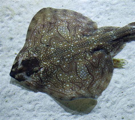 ray undulate aquarium fish malta egg national species viviparous common zone leathery horny lay case mermaid corners females known