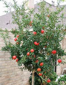 My Pomegranate Tree Pictures