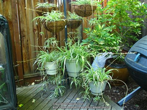 Spider Plants Are The Best!