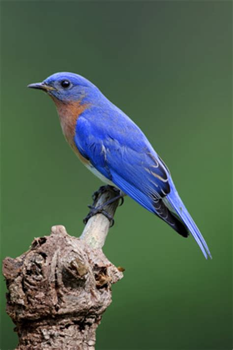 a to z the usa new york state bird