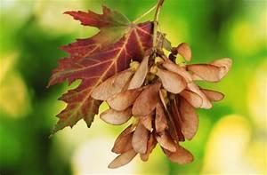 Ahorn Frucht Name : ahorn arten und sorten die robusten b ume der gattung acer garten pflanzen news green24 ~ Frokenaadalensverden.com Haus und Dekorationen