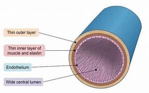 Veins  U2013 Circulatory System