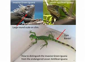 Rapid response to the Discovery of an Invasive Green ...