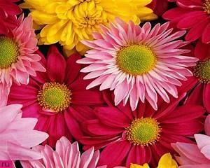 Pink Gerbera Daisy Wallpaper Pink Gerbera Flower Wallpaper ...