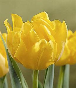 Tulpen Im Topf In Der Wohnung : gef llte tulpe im topf 39 gelb 39 1a zimmerpflanzen online kaufen baldur garten ~ Buech-reservation.com Haus und Dekorationen