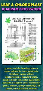 Leaf And Chloroplast Crossword With Diagram  Editable