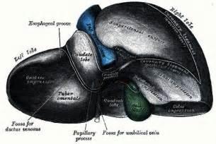 Normal Liver Measurements On Ultrasound