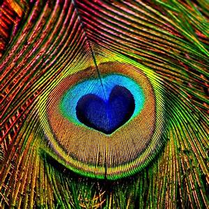 PAVO REAL (Flying Peacock) on Pinterest | Peacock Feathers ...