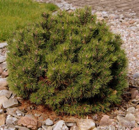 pflanzen für kiesbeet ein trockenes sonniges kiesbeet garten wissen