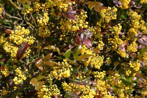 Yellow Spring Flowering Shrubs