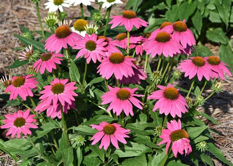 cone flowers coneflowers are ideal for busy gardeners mississippi state university extension service