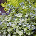 Brunnera macrophylla Jack Frost | White Flower Farm
