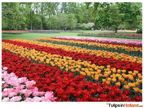 tulips festival in usa 6 tulip festivals around the world you need to see tulips in holland