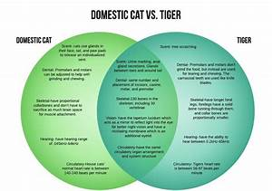 Domestic Cat Vs  Tiger  U2013 Crown Ridge Tiger Sanctuary