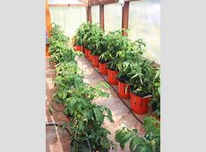 How To Grow Tomato Plants In Buckets Home Design, Garden