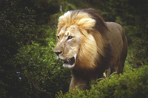 lions  approaching extinction  africa  hundreds