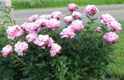 peony planting peonies garden bloggers bloom day