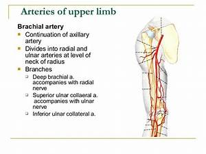 Image Result For Deep Brachial Artery And Radial Nerve