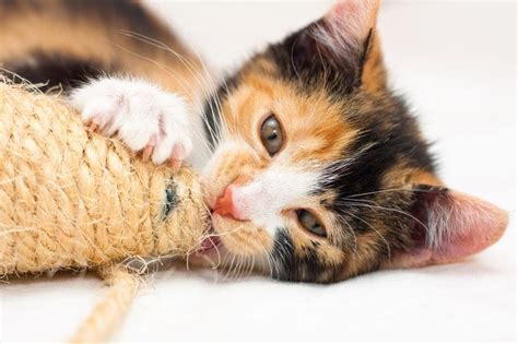 cat names for calicos top 28 cat names for calicos best 25 calico cat names ideas on pinterest calico cats good