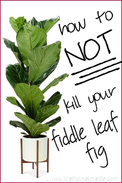 faux fiddle leaf fiddle leaf fig plant care pictures to pin on