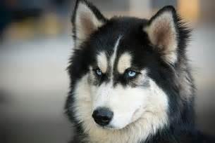 hunde design siberian husky welpen und hunde kaufen dhd24com auto design tech