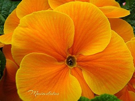 Orange Primroses Scented Primula Hortensis Pictures