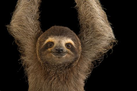 Sloth Images 22 Relaxing Photos Of Sloths That Will Chill You The F K