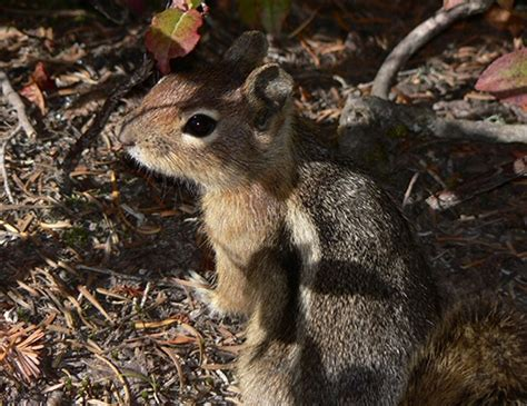 cascade golden mantled ground squirrel life expectancy