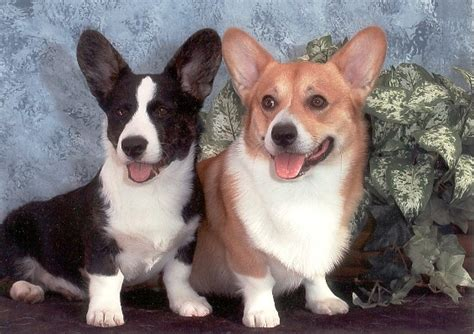 Cardigan Vs Pembroke Welsh Corgi