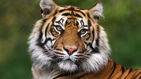 Tiger Photo by In Search Of Tiger Abercrombie Kent