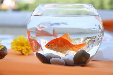wie groß werden goldfische wie gro 223 soll das glas f 252 r 2 goldfische sein haustiere fische aquaristik