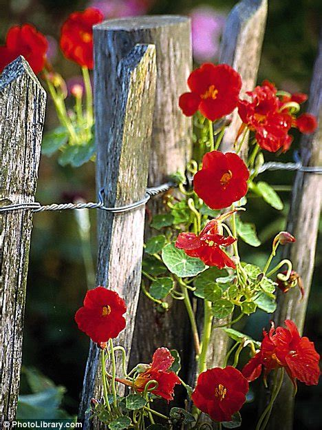 Budget Climbing Plants From Nasturtiums To Snapdragons