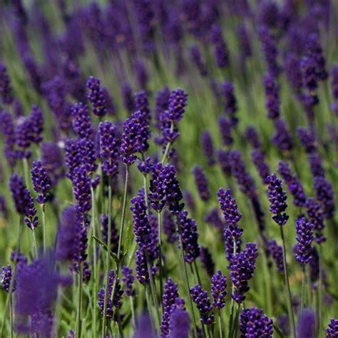 lavandula angustifolia care buy lavender lavandula angustifolia hidcote 163 11 99 delivery by crocus