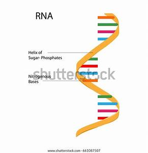 Education Chart Biology Rna Structure Diagram Stock Vector