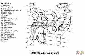 Adult Coloring Sheets For Male Reproductive System