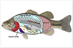 Internal Fish Anatomy