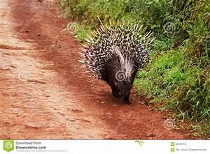 Porcupine Stock Photo - Image: 33491010