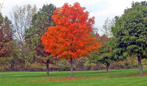 types of maple trees with pictures image gallery mapletree