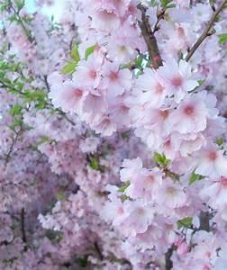 Accolade Flowering Cherry