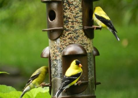 how to attract goldfinches to your backyard feeder dengarden