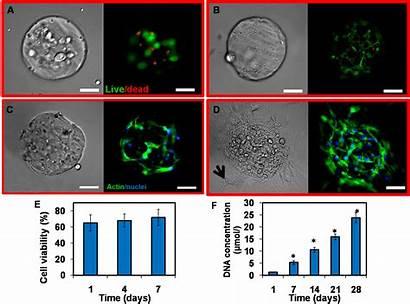 Microspheres Cell Stem Gelatin Laden Regeneration Rapid