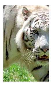 Attack by rare white tiger kills zoo keeper