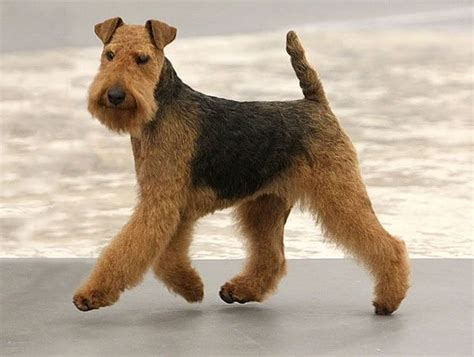 do airedale puppies shed best 25 airedale terrier ideas on
