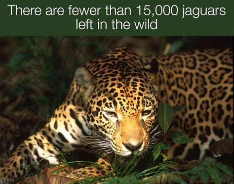 How Are Jaguars Endangered by 1000 Images About Endangered Species Board On
