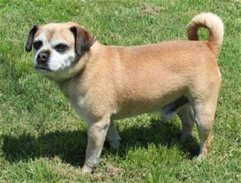 tuesdays tails adopt  senior pug adoptable dogs
