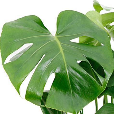 Zimmerpflanze Rote Blätter by Zimmerpflanzen Mit Gro 223 E Bl 228 Tter Kaufen 123zimmerpflanzen