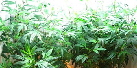 cannabis grow lights the best marijuana grow lights
