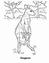 Kangaroo Coloring Pages Wallaby Habitat Printable Template Sheet Animal Sketch Baby sketch template