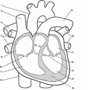 Cardiovascular System Quiz